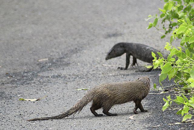 File:Indian Grey Mongoose vs Monitor Lizard