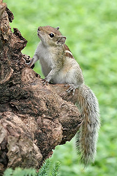 Indian Palm Squirrel Portrait.jpg