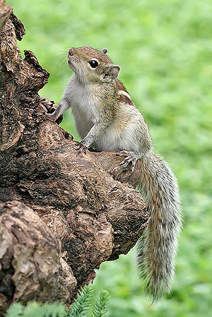 {{Portrait of an Indian Palm Squirrel pictured...