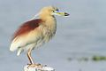 Indian Pond heron in breeding plumage.jpg