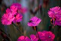 Insect-on-dianthus-flower - West Virginia - ForestWander.jpg