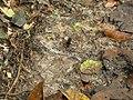 Insekt 1 Bild 1 Nationalpark Tai.jpg
