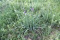 Iris sibirica in natural monument Sterbu louka in 2011 (3).JPG