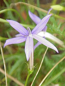 detail d'une fleur d'isotoma axilaris