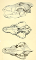 J. C. Merriam (1911) Canis dirus skull.png
