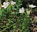 J20180118-0011—Cerastium arvense ssp strictum—RPBG (28025840879).jpg
