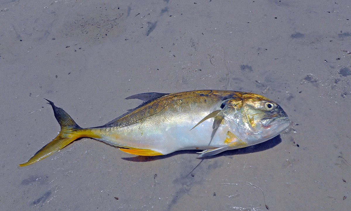 Crevalle jack wikipedia for What is a jack fish