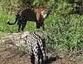 Jaguar (Panthera onca) male meeting a young female (back) ... - Flickr - berniedup.jpg