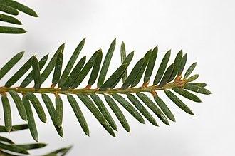 Taxus cuspidata - Image: Japanese Yew Taxus cuspidata Leaf Closeup 3008px