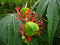 Jatropha multifida 0001.jpg