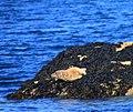 Jeune phoque femelle aux étocs (9602995292).jpg