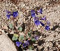 Joshua Tree National Park flowers - Phacelia campanularia - 6.JPG