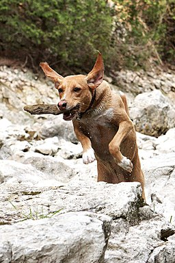 Jumping dog Ryder