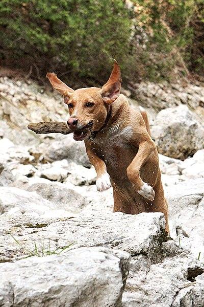 File:Jumping dog Ryder.jpg