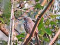 Jungle babbler-2-yercaud-salem-India.jpg