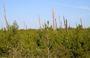 Florida scrub - Juniper Prairie Wilderness, Ocala National Forest