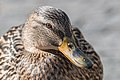 Just another duck (17120151041).jpg