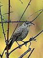 Juvenile Cowbird (7696350082).jpg