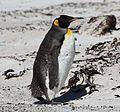 Juvenile King Penguin on Saunders Island (5560558614).jpg