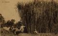 KITLV - 181930 - Kurkdjian - Planting of sugar on a company in East Java - circa 1910.tiff