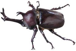 Un scarabée rhinocéros japonais mâle