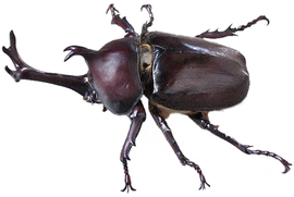 Kabutomushi Japanese Beetle (modified).png