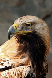 Photo of an Eastern Imperial Eagle, a rare bird in Bulgaria