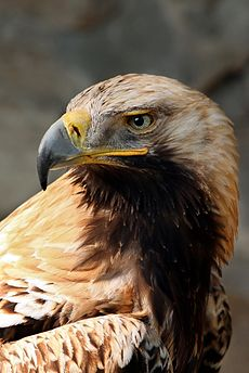 Photo of an Eastern Imperial Eagle, a rare bird in Bulgaria