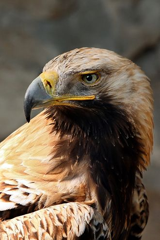Eastern imperial eagle - Detail of an imperial eagle.