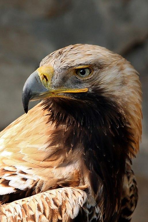 Orol kráľovský (lat. Aquila heliaca)