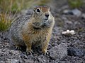 Kamchatka Ground squirrel (15959976287).jpg