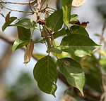 Karanj (Pongamia pinnata) leaves in Hyderabad, AP W IMG 6663.jpg