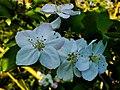 Kelopak Bunga Apel.jpg