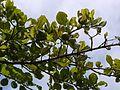 Khajkanda (Marathi- खाजकांदा) (4955254202).jpg