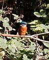 Kingfisher 2 (3950236893).jpg