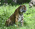 Kirana the female Tiger (9156072460).jpg