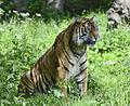 Kirana the female Tiger (9156072460).jpg