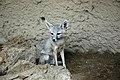 Kit Fox (9475867560).jpg