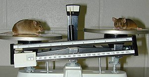 Gene knockout - A knockout mouse (left) that is a model of obesity, compared with a normal mouse.