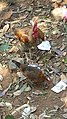 Konkan - Kondhe Village, Chiplun - Part 5 20151223 (23374355813).jpg