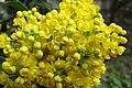 Korina 2013-03-30 Mahonia aquifolium 2.jpg