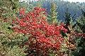 Korina 2015-10-10 Quercus rubra 8.jpg