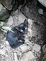 Kucing hitam kecil.jpg