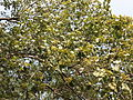 Kydia calycina - Ganeshgudi 09.JPG