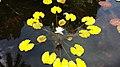 LILY POND (5-11-14) fairchild, tropical gardens, miami-dade co, fl (9) (14177361336).jpg