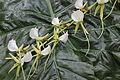 La Mortella orquídeas 03.JPG