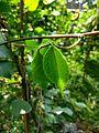 Lablab purpureus plant & flowers 32.jpg