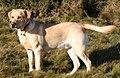Labrador on Quantock (2175262184).jpg