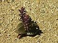 Lachenalia sp.jpg