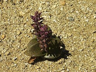 Lachenalia - Lachenalia carnosa, Goegap N.R., Namaqualand, Northern Cape, South Africa